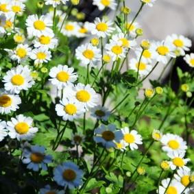 многолетние растения для сада фото варианты