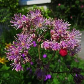 многолетние растения для сада фото обзоры