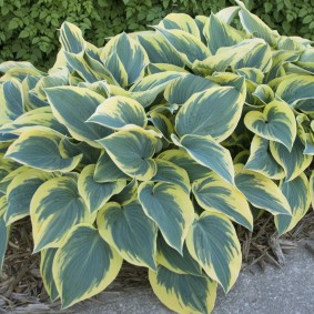 многолетние тенелюбивые растения для сада фото вариантов