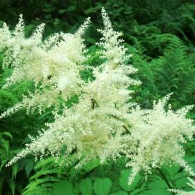 многолетние тенелюбивые растения для сада виды