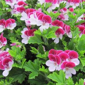 многолетние тенелюбивые растения для сада фото видов