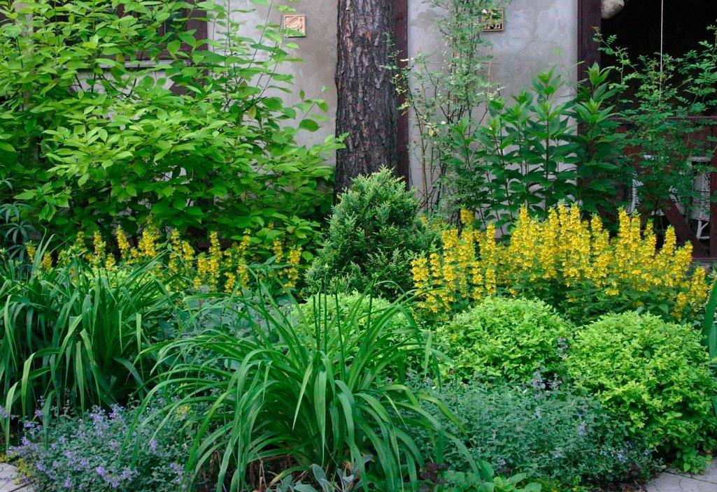 многолетние тенелюбивые растения для сада фото