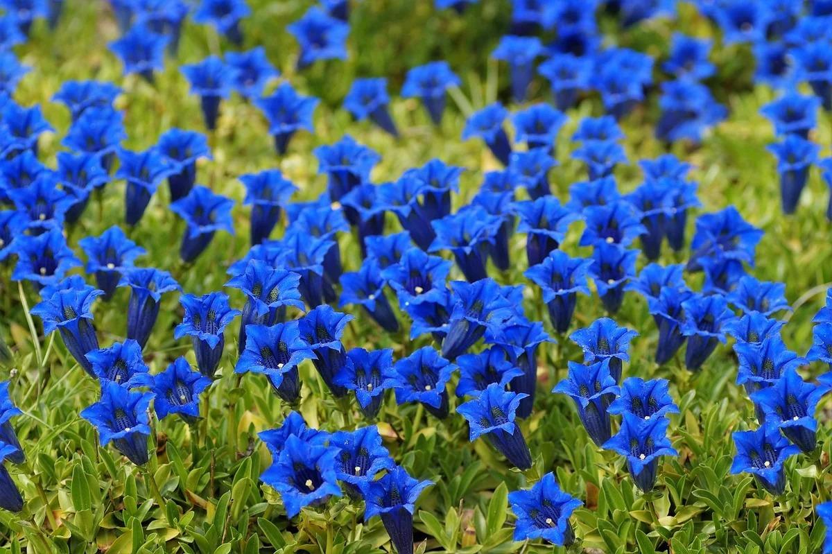 многолетники для сада голубые