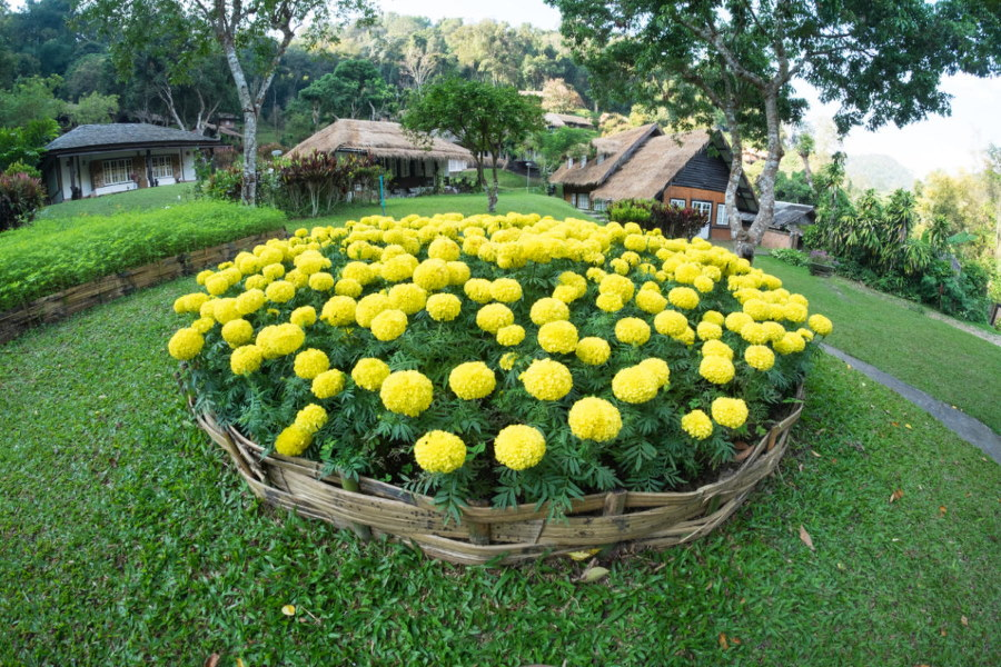 Круглая клумба из желтых бархатцев