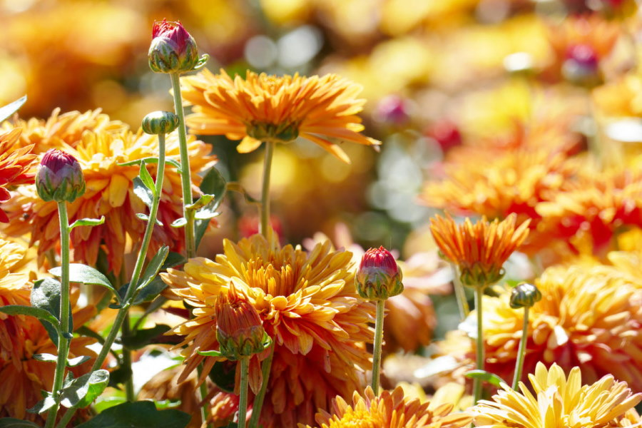 Крупные цветки хризантемы оранжевого оттенка