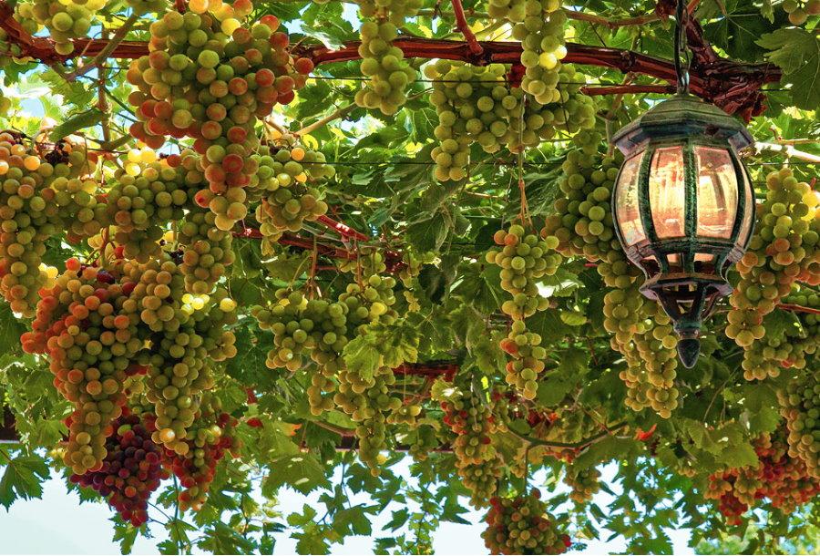 Кованный фонарь на перголе с виноградом