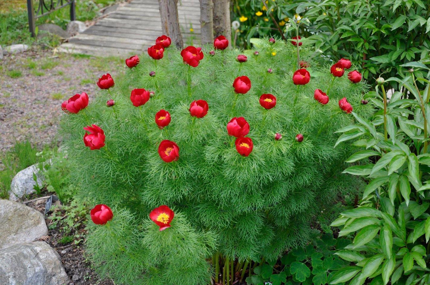 пион тонколистный в саду