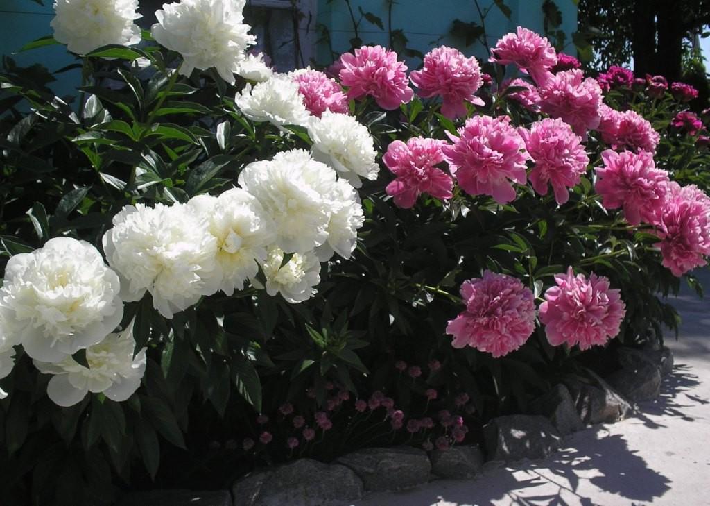 Кусты травянистых пионов на цветочной клумбе