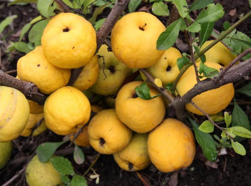 Желтая кожица на плодах айвы в конце осени
