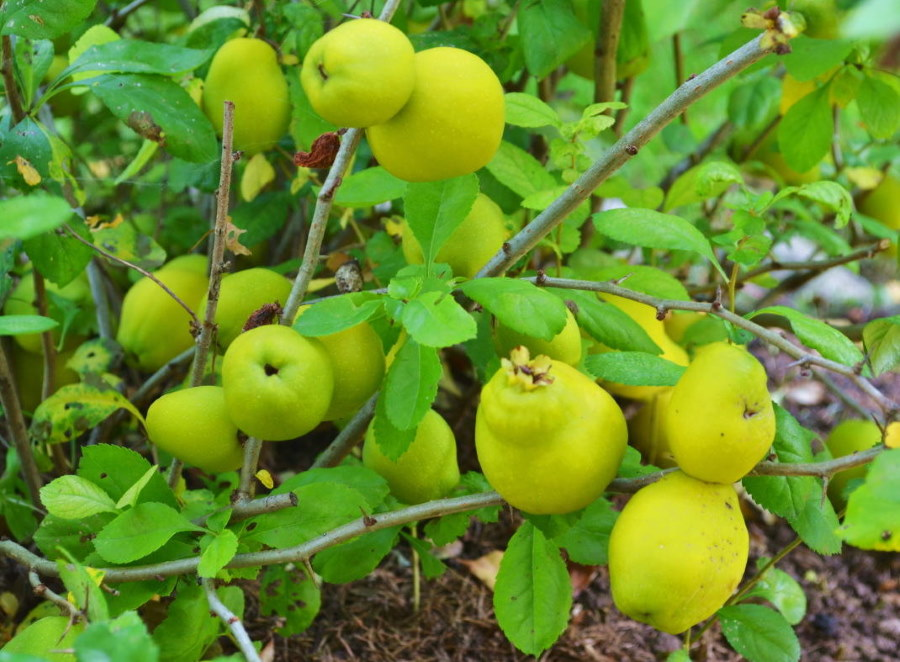 Созревание плодов на кусту айвы японской