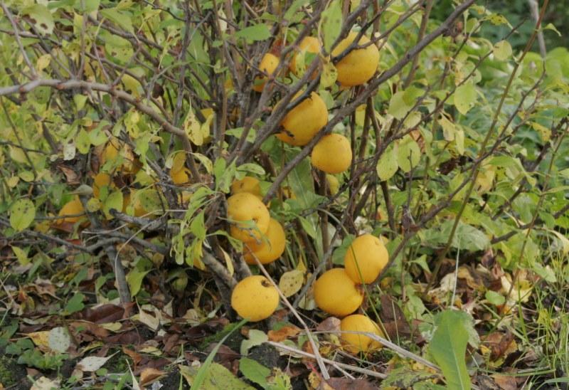 Желтоватые плоды на нижних ветках айвы