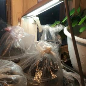 Подсветка семян лизиантуса настольной лампой