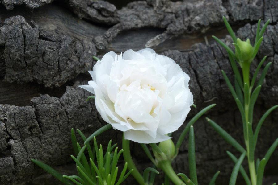 Летнее цветение портулака белоцветкового