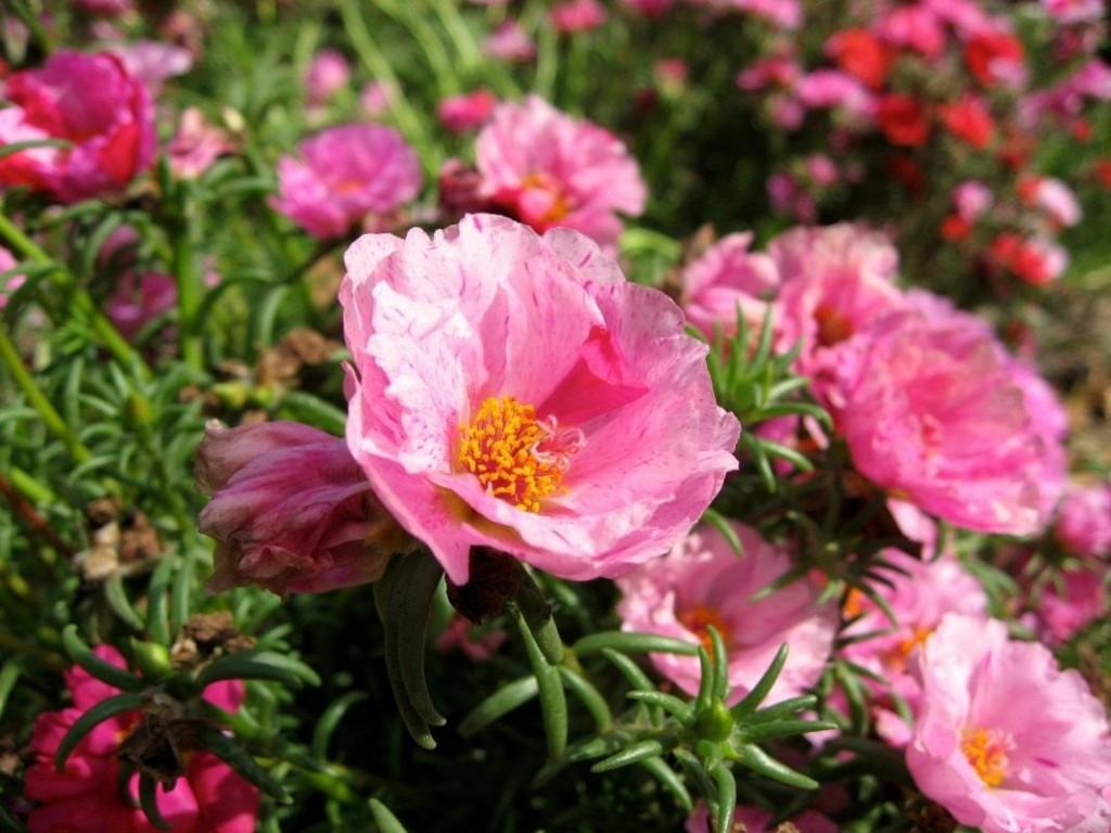 Розовые цветки портулака крупноцветкового
