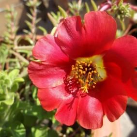 Крупный цветок на портулаке сорта Черри