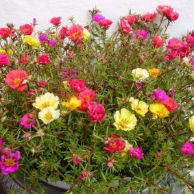 Цветение портулака сорта Фламенко