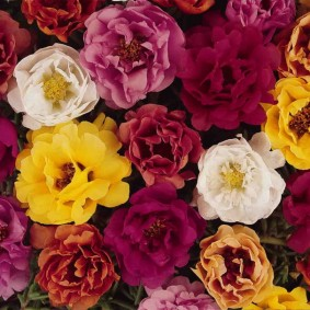 Махровые цветки портулака сорта Каламбур