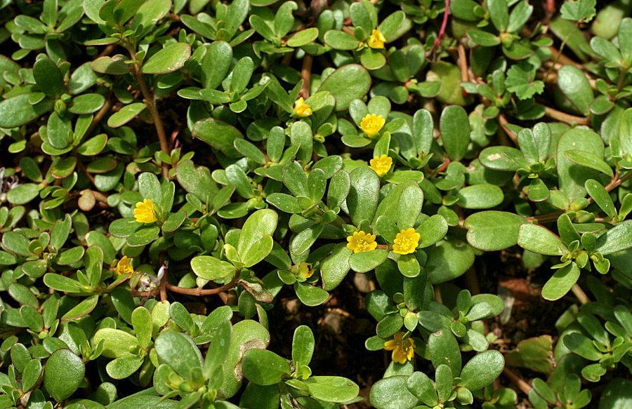Невзрачные цветки на стеблях портулака огородного