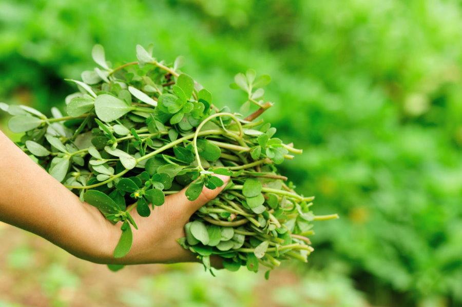Сочные стебли огородного портулака в руке садовода