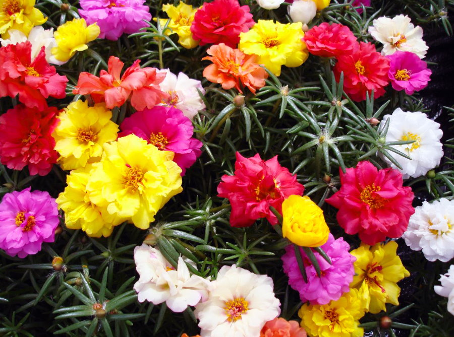 Разноцветные цветка садового портулака