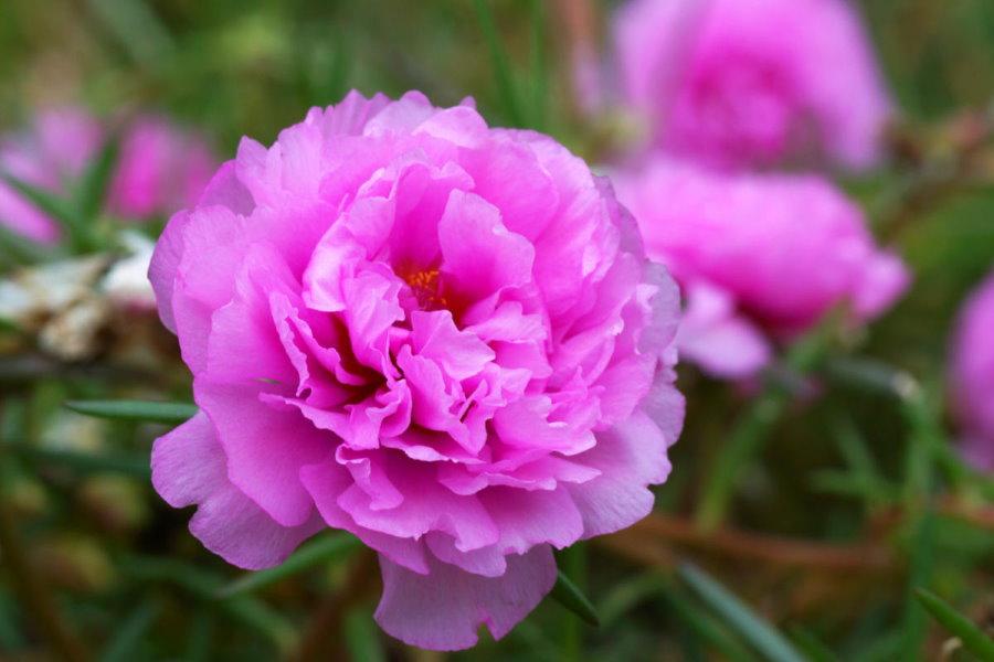 Крупный бутон розово-пурпурного цвета на портулаке сорта Спленденс