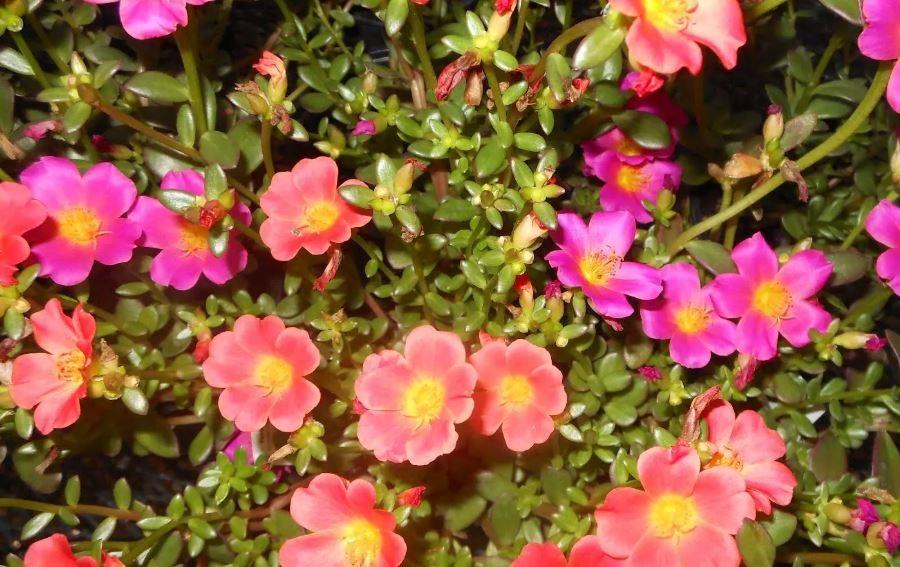 Фото крупноцветкового портулака сорта Сунгло