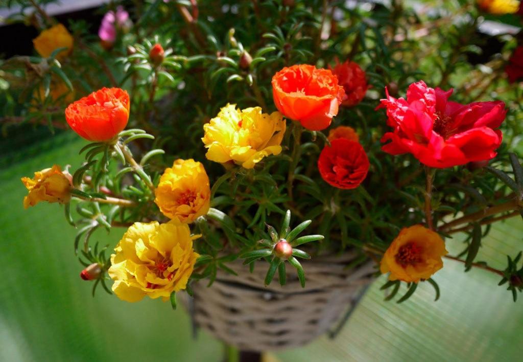 Плетенное кашпо с портулаком крупноцветковым