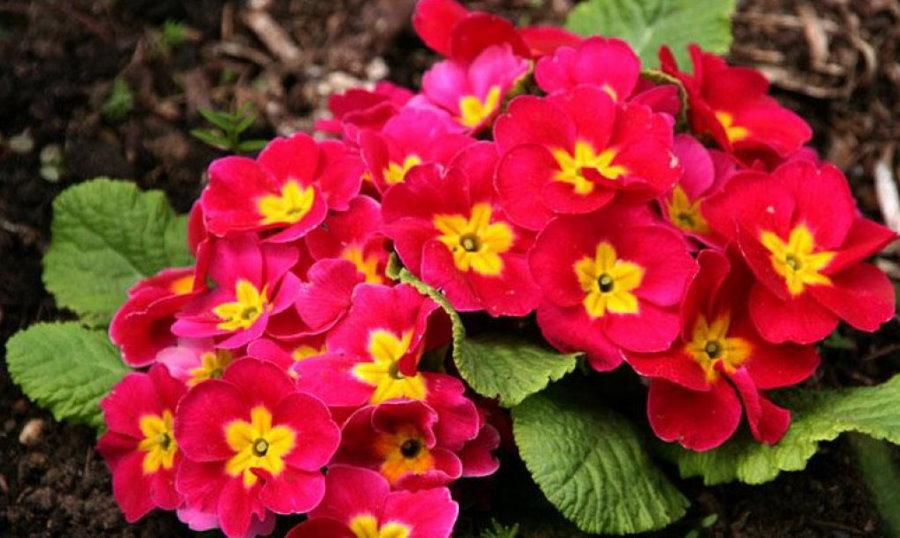 Розово-желтые цветки примулы бесстебельной