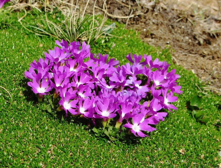 Цветение примулы в естественных условиях