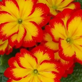 Яркие цветки на кусту примулы сорта Аляска