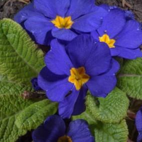 Синие цветки с желтым зевом на примуле сорта Целеруа
