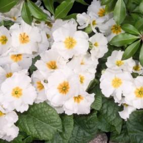 Белые соцветия примулы сорта Гига Уайт