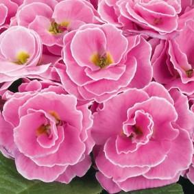 Махровые цветки примулы сорта Палаццо