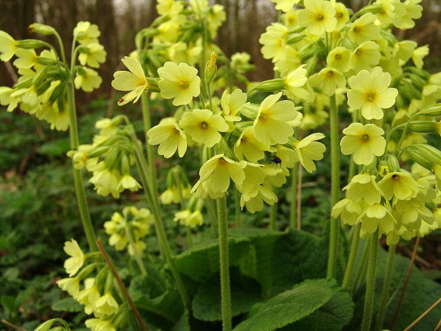 Нежно-желтые цветки примулы высокой