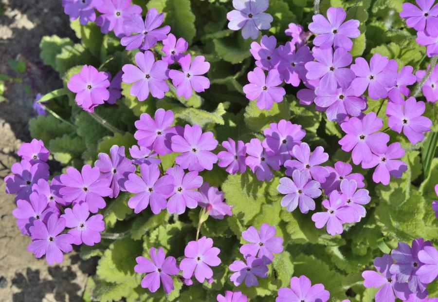 Обильное цветение примулы Зибольда в начале лета