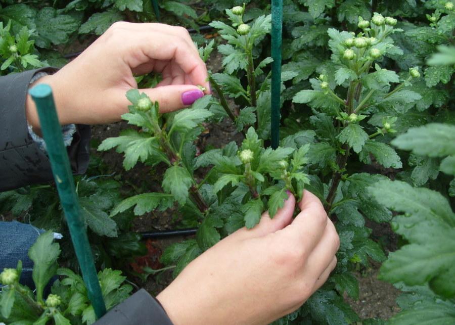 Прищипывание крупноцветковой хризантемы своими руками
