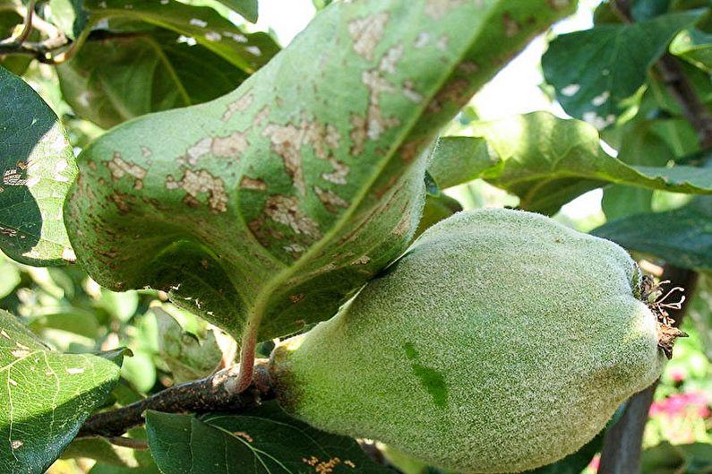 Серые пятна на листе плодовой айвы
