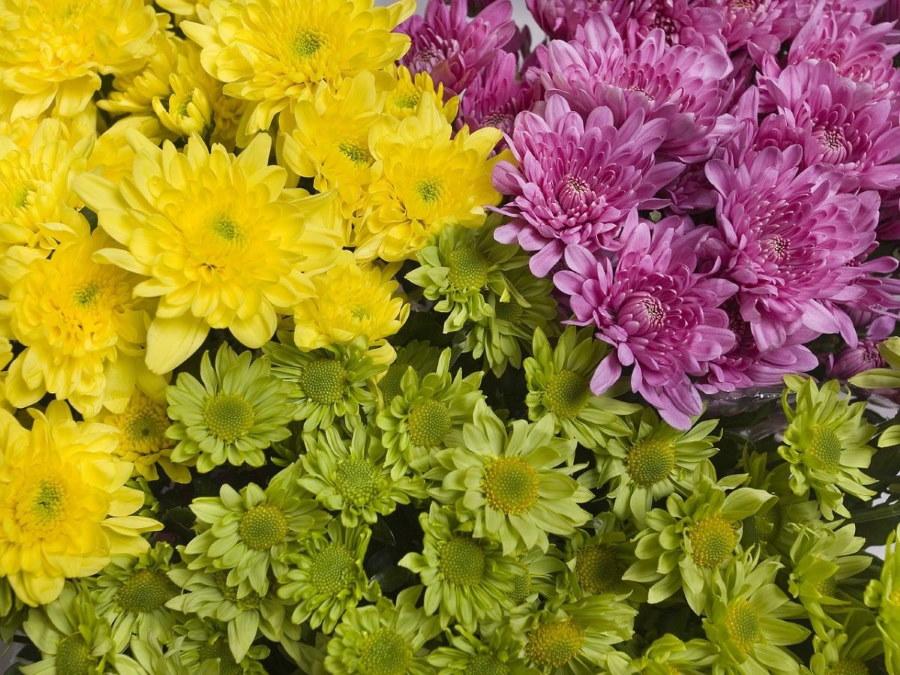 Фото мелкоцветковых хризантемы крупным планом