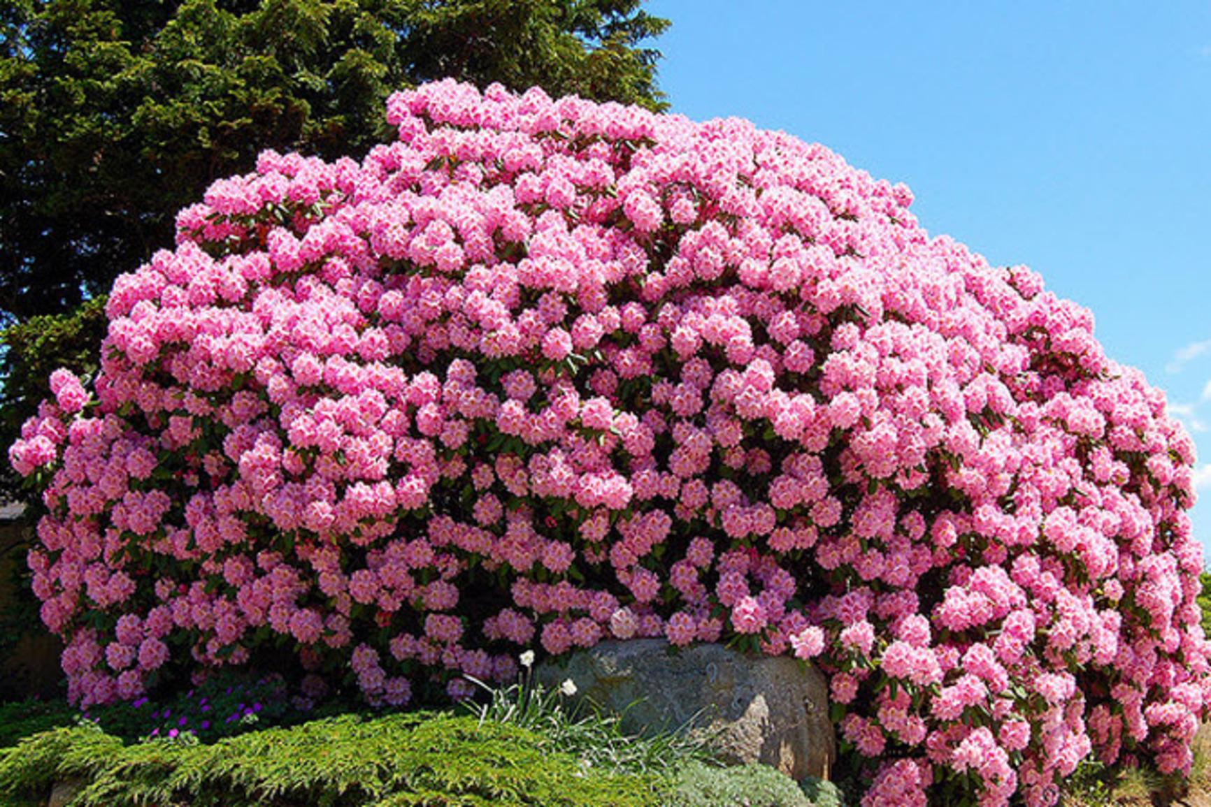 если дома, цветущие кустарники для дачи в подмосковье фото найти нужный товар