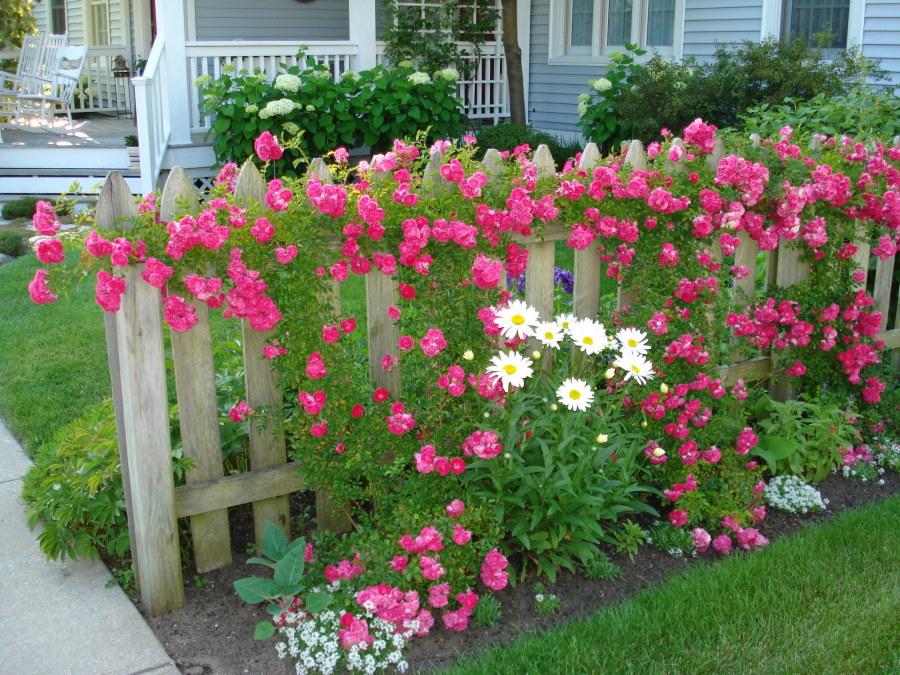 Плети роз на деревянном заборе перед домом