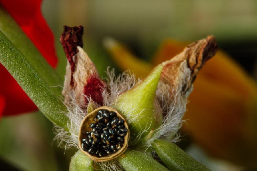 Открытая семенная коробочка портулака крупноцветкового