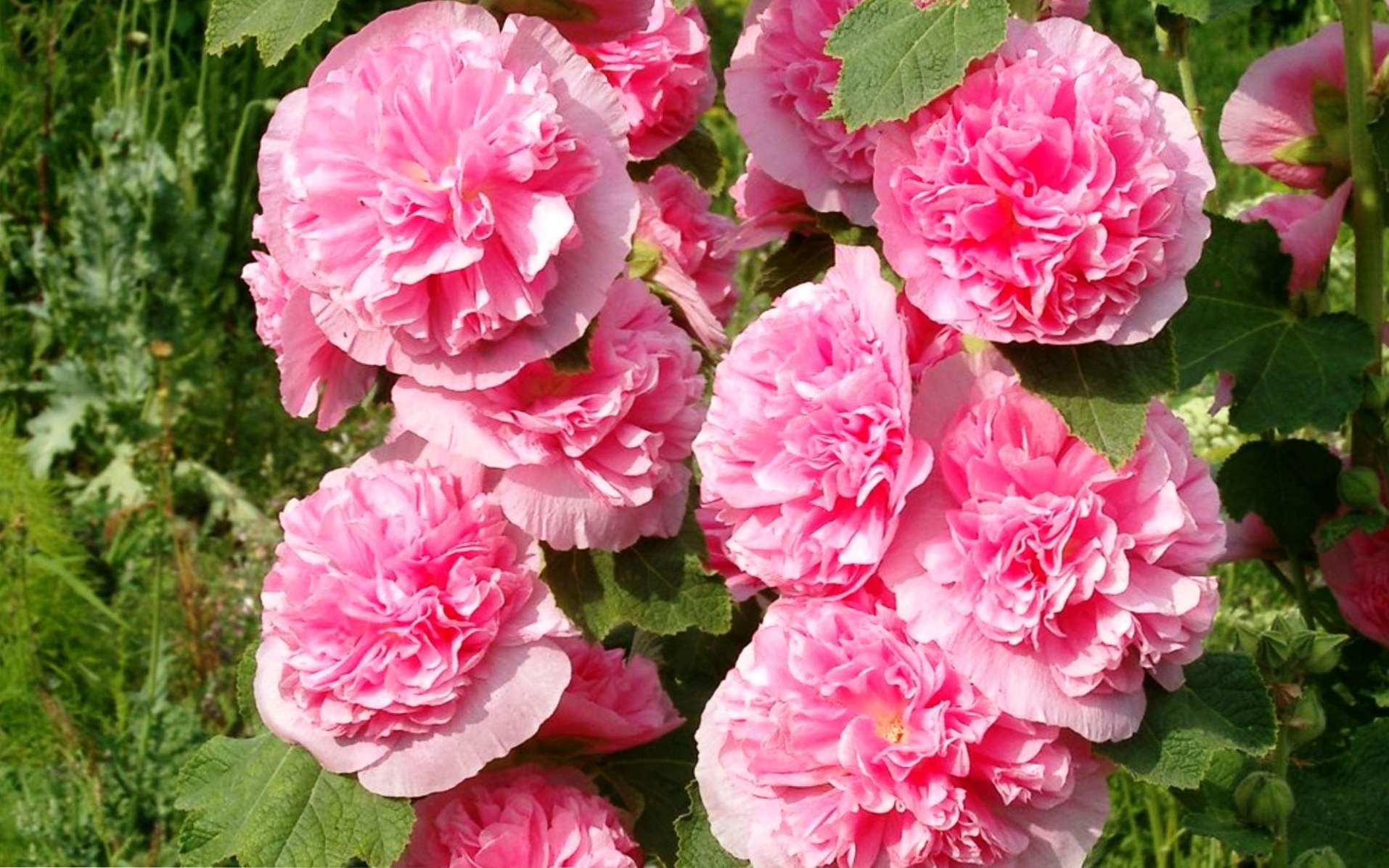 шток розы для сада