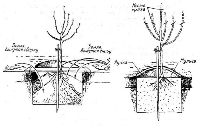 Схема посадки саженца айвы в плодородный грунт