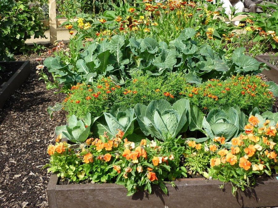 Цветы и капуста на одной грядке в огороде