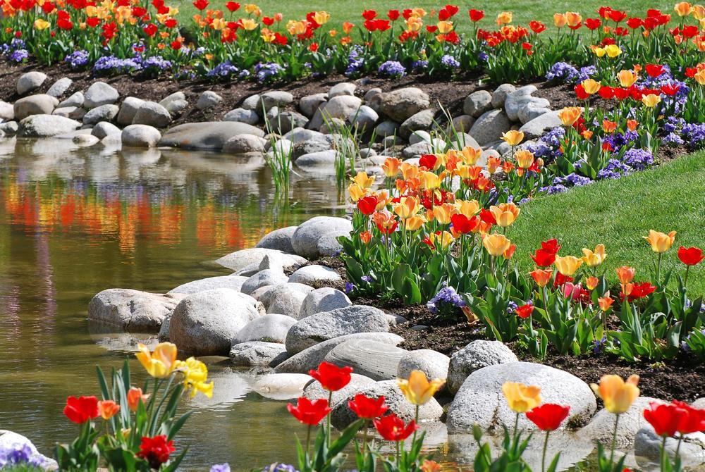 Разноцветные тюльпаны на берегу искусственного водоема