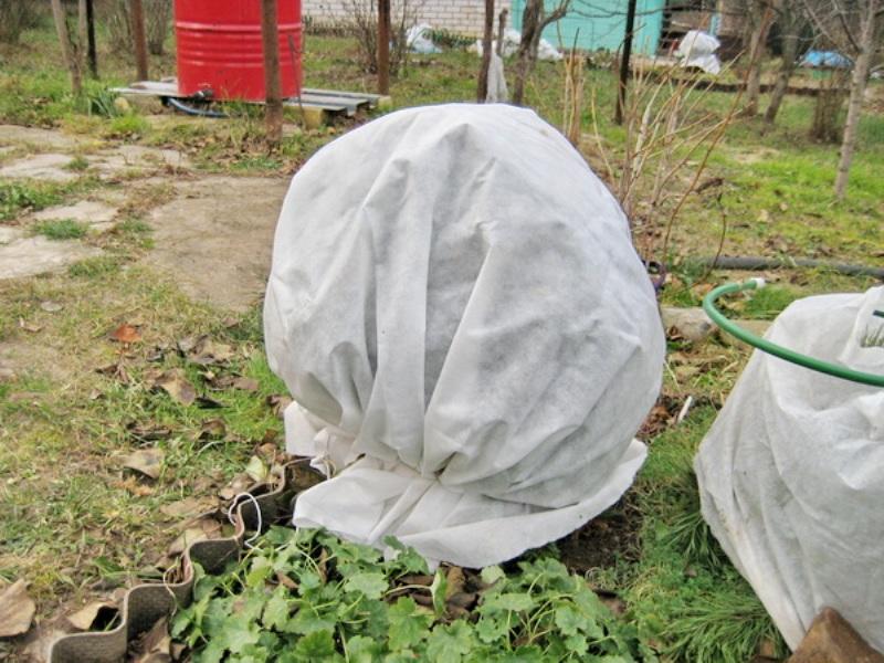 Укрытие айвы на зиму белым агроволокном