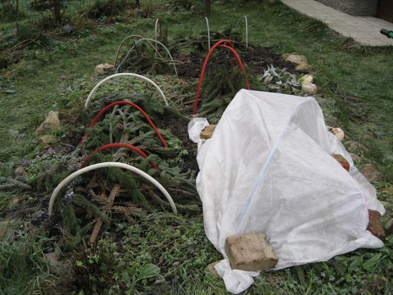Укрытие садовых хризантем лапником в конце осени