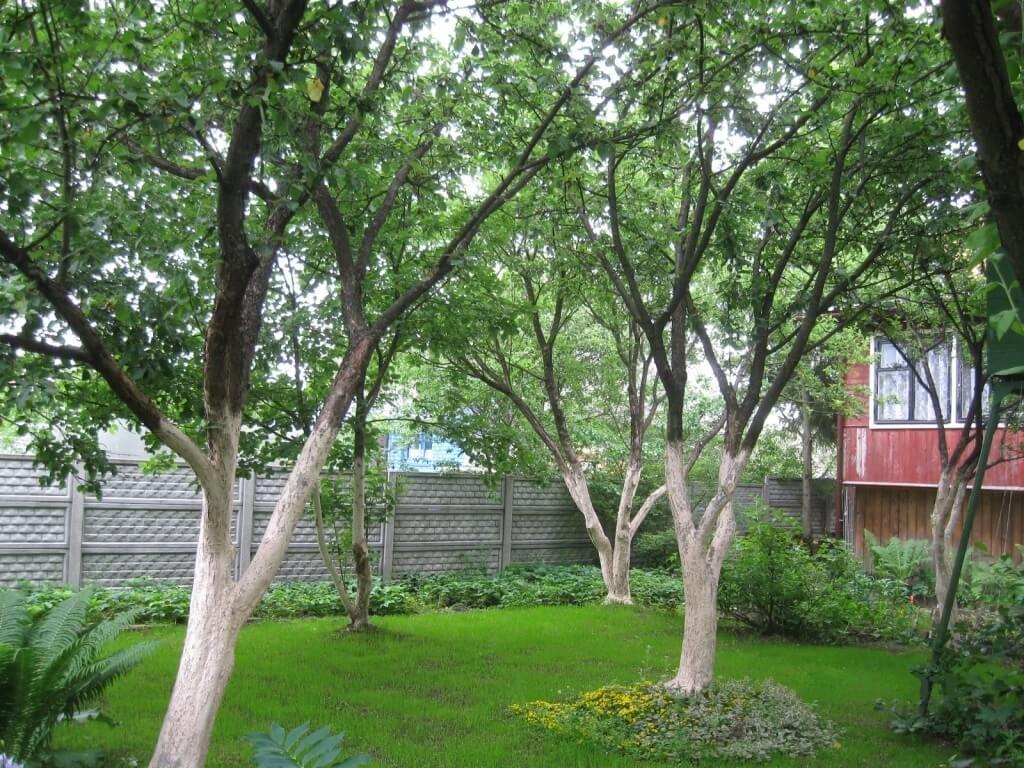 Высокие яблони на садовом участке