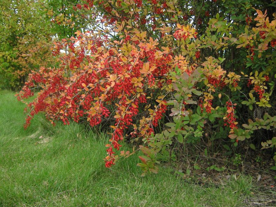 Красные ягоды на ветках садового барбариса