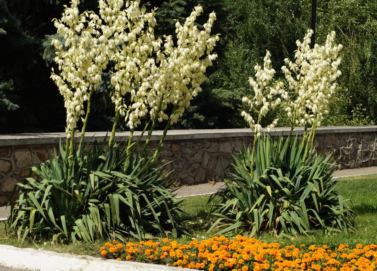 юкка садовая идеи